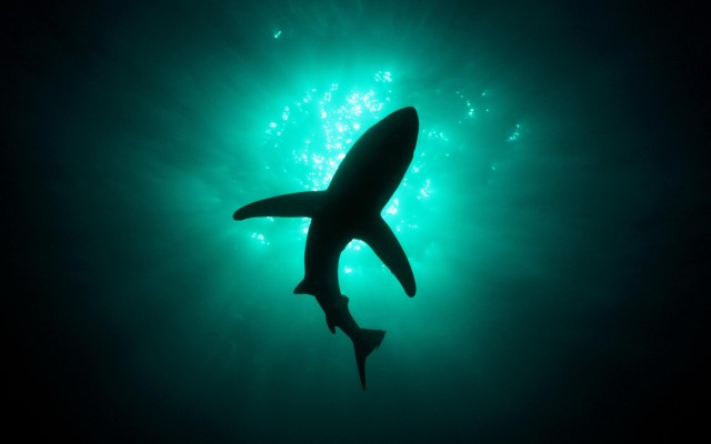 Shark-Wallpaper-Image-Picture-Awesome-640×400-20dtudk